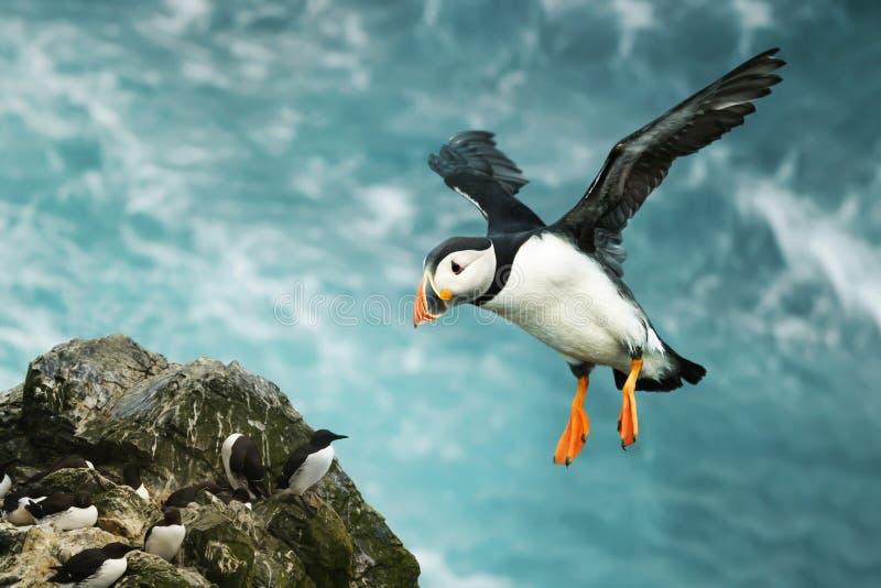 Fermez-vous du macareux atlantique en vol image libre de droits