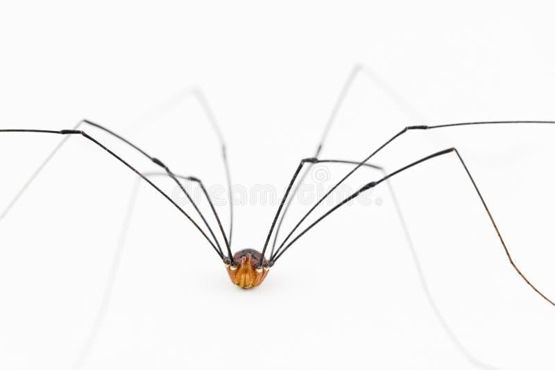 Fermez-vous du moissonneur «araignée» photos stock