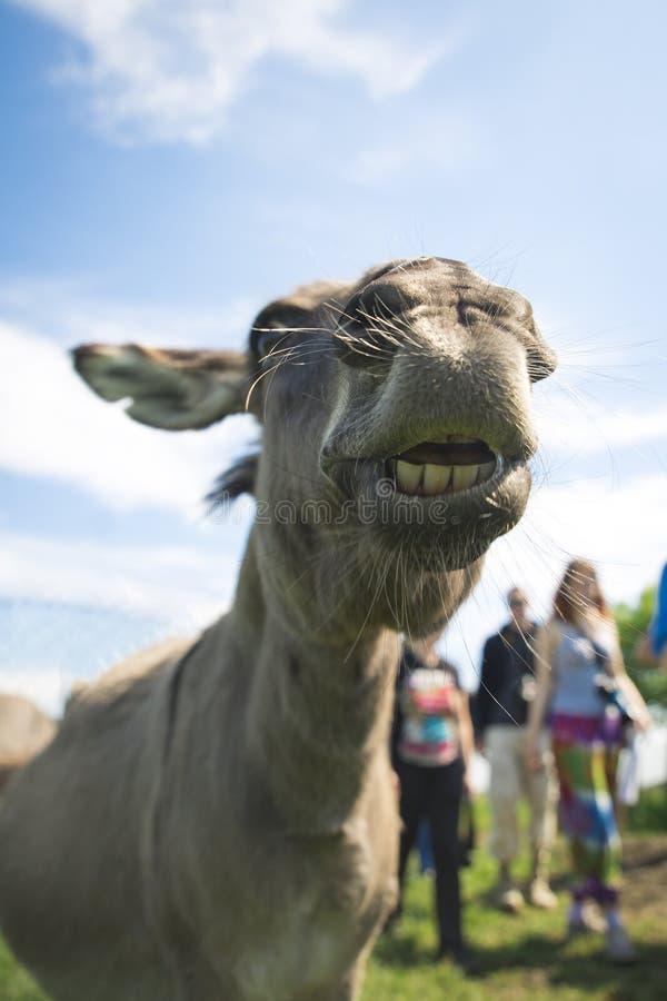 Fermez-vous du museau d'un âne, dehors images stock