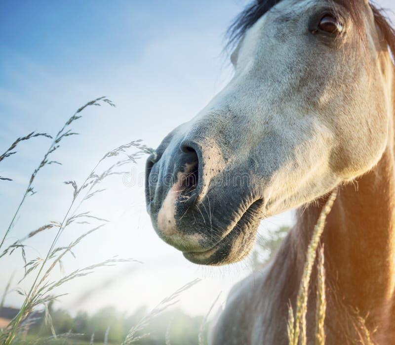 Fermez-vous du nez gris de cheval au-dessus du fond de nature d'aube photographie stock libre de droits