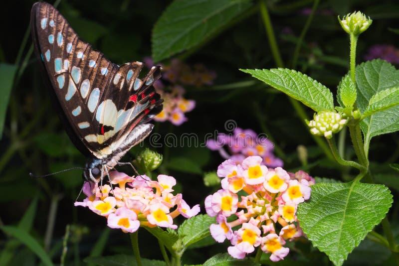 Fermez-vous du papillon d'agamemnon Tailed Jay Graphium sur Brillia photographie stock libre de droits