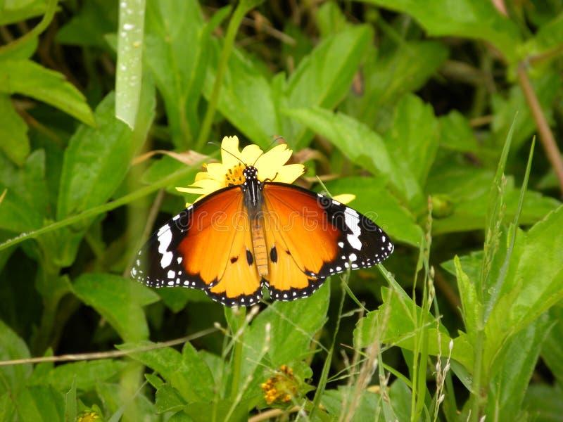 Fermez-vous du papillon de monarque orange de couleur se reposant sur la fleur jaune photographie stock
