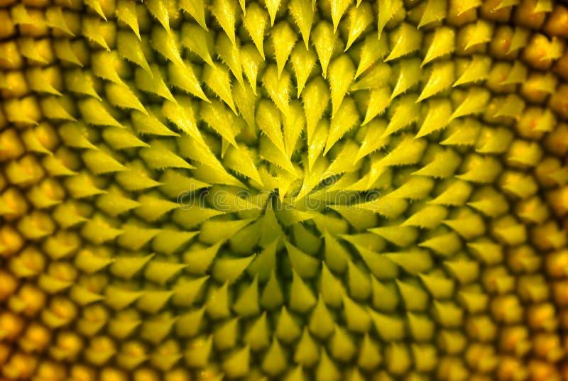 Fermez-vous du pollen de tournesol dans le jardin images libres de droits