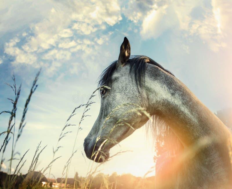 Fermez-vous du portrait Arabe de cheval au-dessus du fond de nature de coucher du soleil image stock