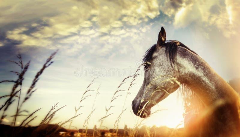 Fermez-vous du portrait de cheval au-dessus du fond de crépuscule de nature de coucher du soleil photographie stock libre de droits