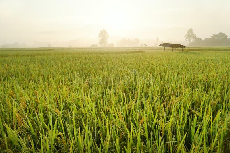 Fermez-vous du riz de maturation images libres de droits