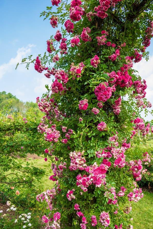 Fermez-vous du ` rose de Dorothy Perkins de ` en fleur photographie stock libre de droits