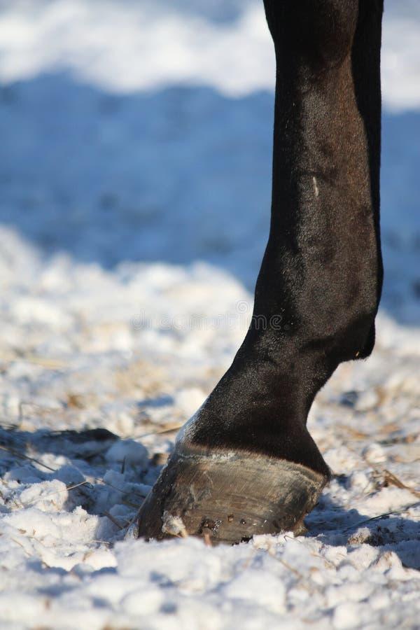 Fermez-vous du sabot de cheval en hiver photo libre de droits