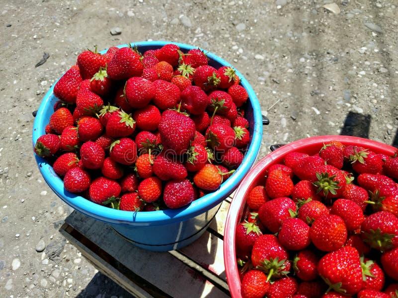 Fermez-vous du seau bleu complètement de juicystrawberries frais de sélection Seau de fraise sur la rue au jour ensoleillé photo stock