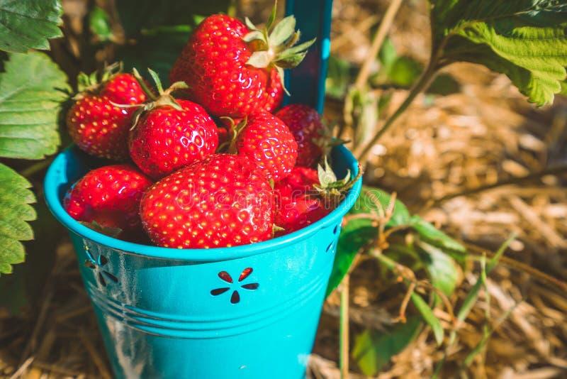 Fermez-vous du seau bleu complètement de juicystrawberries frais de sélection Gisement de fraise le jour ensoleillé images libres de droits