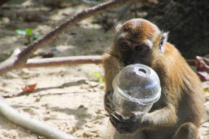 Fermez-vous du singe de macaque tenant la tasse en plastique sur la plage polluée, Ko Phi Phi, plage d'AI Ling, Thaïlande photographie stock
