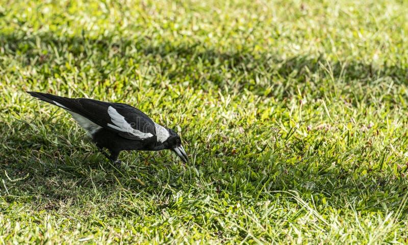 Fermez-vous du tibicen de pie australienne ou de Gymnorhina, en se tenant sur l'herbe verte photos stock