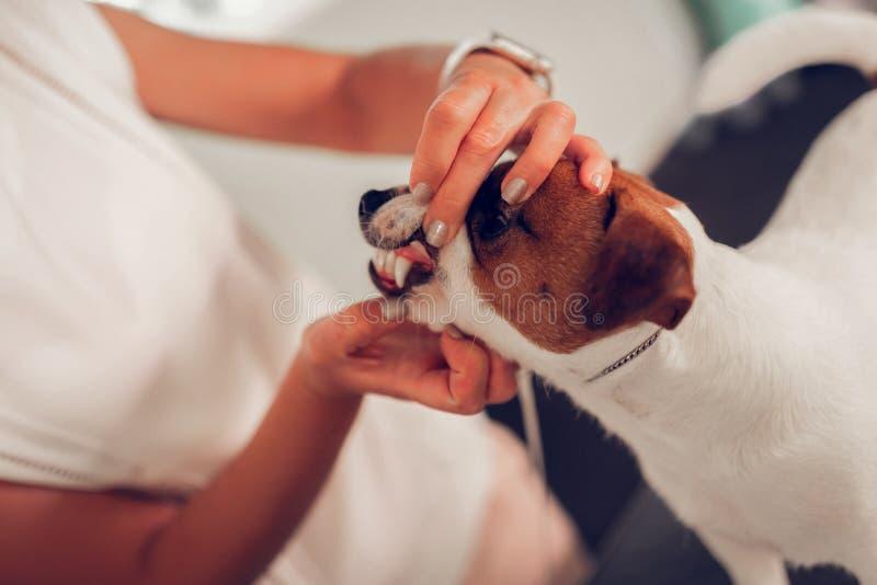 Fermez-vous du vétérinaire vérifiant les dents du petit chien mignon images stock