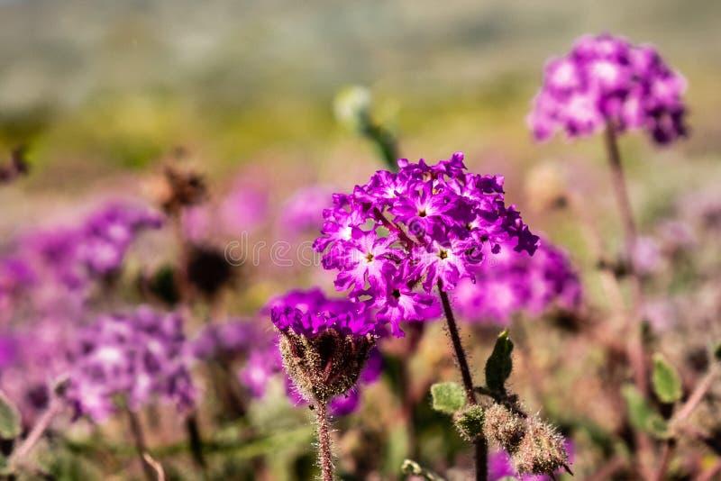 Fermez-vous du villosa d'Abronia de sable-verveine de désert fleurissant en parc d'état de désert d'Anza Borrego, le comté de San photo stock