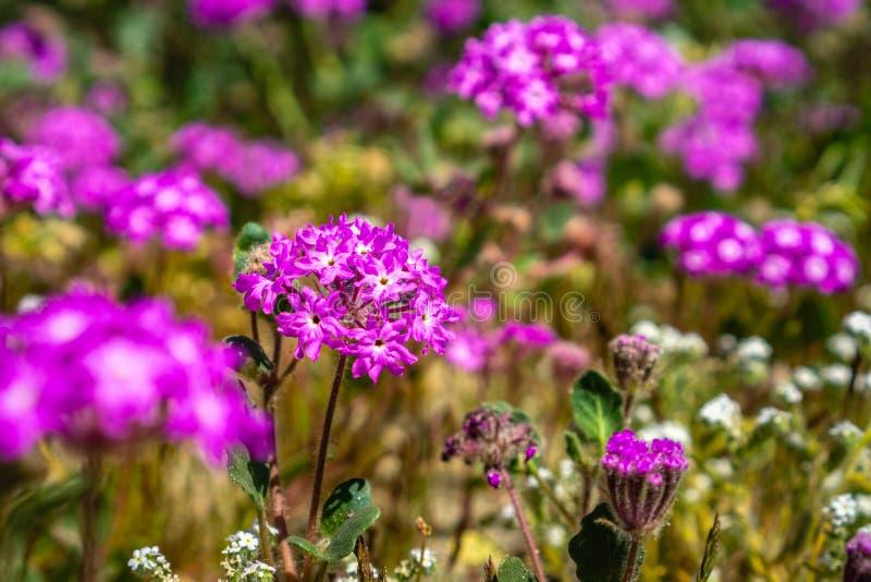 Fermez-vous du villosa d'Abronia de sable-verveine de désert fleurissant en parc d'état de désert d'Anza Borrego, le comté de San photos libres de droits