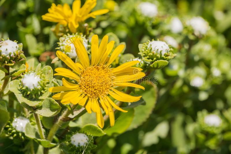 Fermez-vous du wildflower de Grindelia, la Californie photographie stock libre de droits