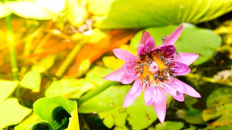 Fermez-vous et brouillez le vol et les abeilles d'abeille de miel de ton de matin de fond rassemblant le pollen dedans profondéme photos libres de droits