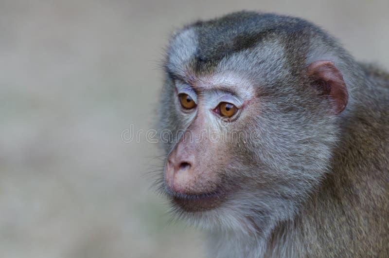 Fermez-vous jusqu'au visage de singe photographie stock
