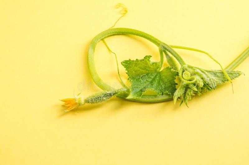 Fermez-vous, macro Vue sup?rieure Le développement des jeunes plantes de concombre Fond jaune Copiez l'espace photos libres de droits