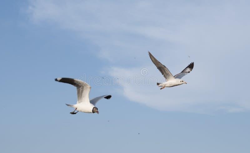 Fermez-vous sur deux mouettes volant dans le ciel images stock