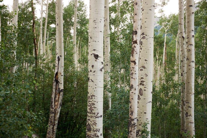Fermez-vous sur l'écorce blanche sur des arbres de tremble image stock
