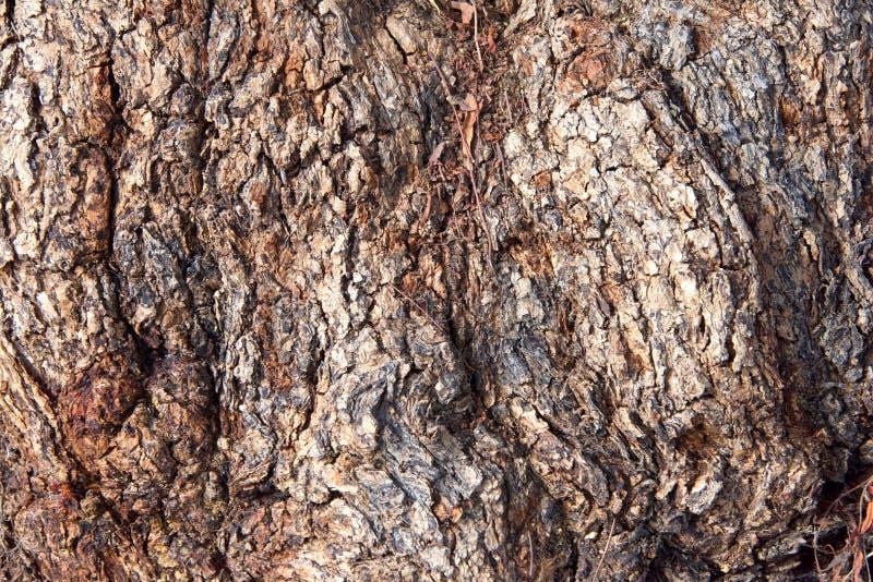 Fermez-vous sur l'écorce de l'arbre de poivre photos stock