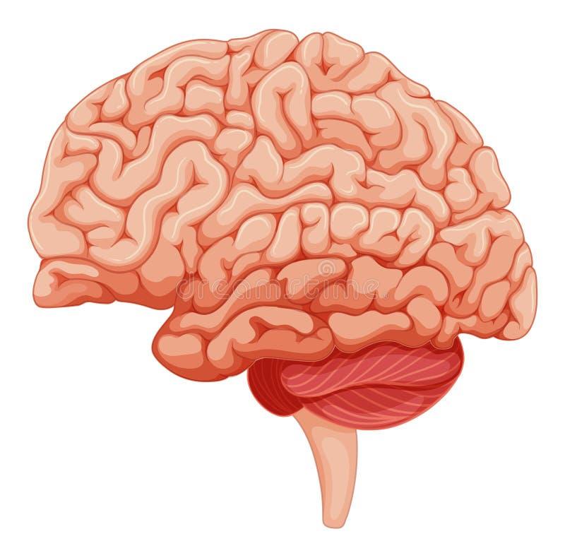 Fermez-vous sur l'anatomie de cerveau illustration libre de droits