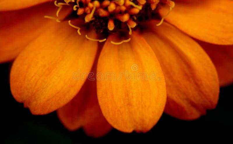 Fermez-vous sur la fleur de Zinnia au Mississippi juin photographie stock