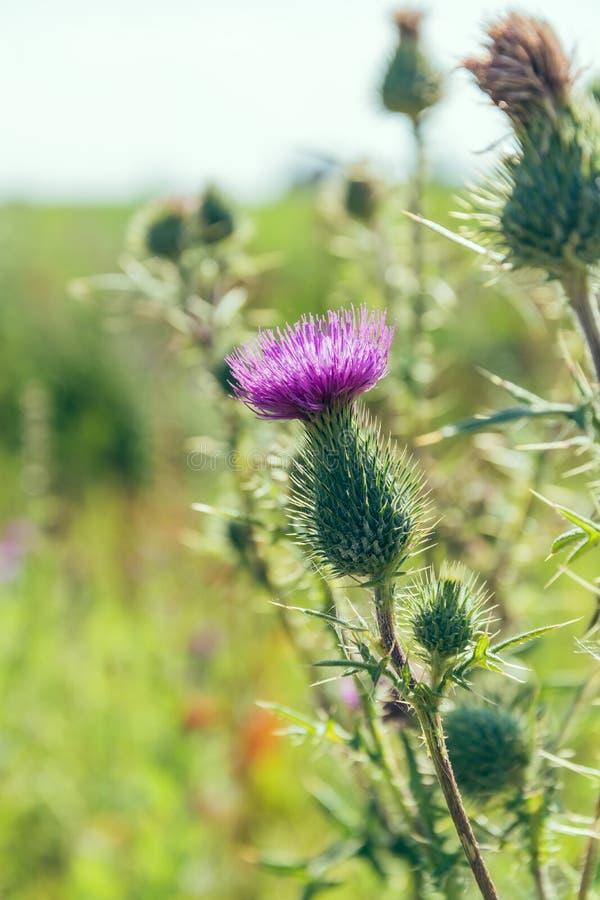 Download Fermez-vous Sur La Fleur Pourpre De L'usine De Chardon Image stock - Image du flore, été: 76081497
