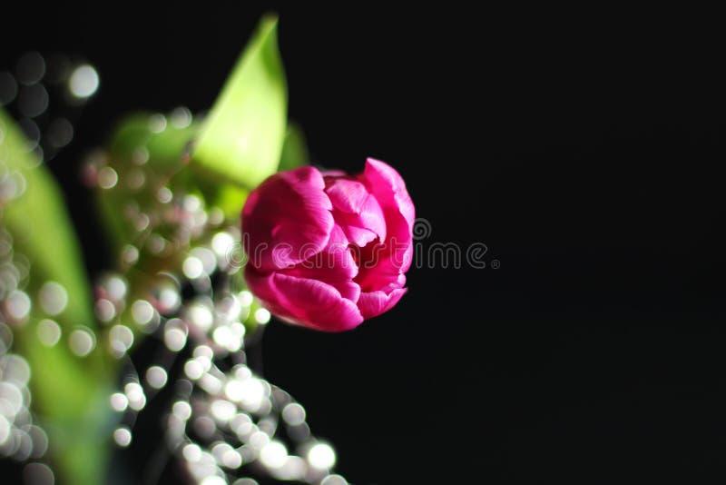 Fermez-vous sur la tulipe pourpre et la décoration argentée, fond noir, l'espace d'exemplaire gratuit photographie stock