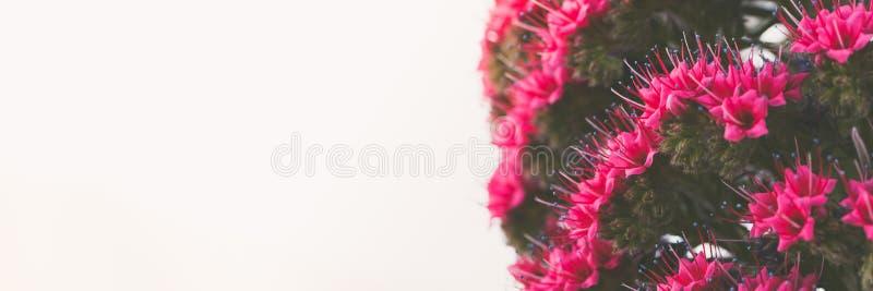 Fermez-vous sur le beau wildpretii endémique d'Echium de rojo de Tajinaste de fleur image libre de droits