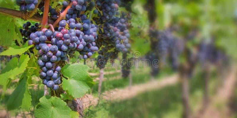 Fermez-vous sur le raisin noir rouge dans un vignoble photographie stock libre de droits