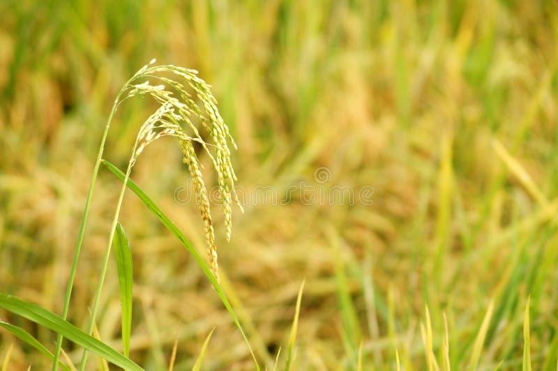 Fermez-vous sur le riz non-décortiqué images libres de droits