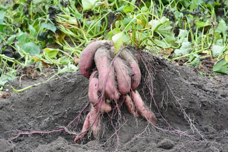 Fermez-vous sur les ignames organiques, moisson de patates douces photographie stock libre de droits
