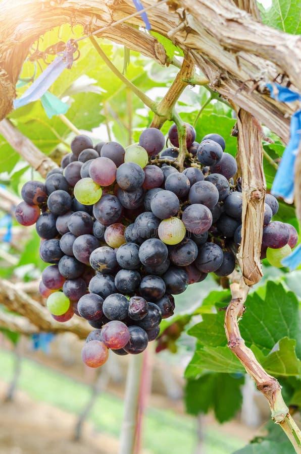Fermez-vous sur les raisins noirs rouges photographie stock libre de droits