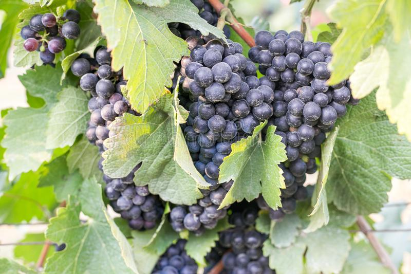Fermez-vous sur un groupe de raisins noirs rouges sur la vigne photographie stock libre de droits