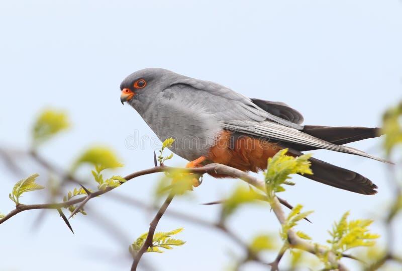 Fermez-vous très vers le haut du portrait du faucon aux pieds rouge image libre de droits