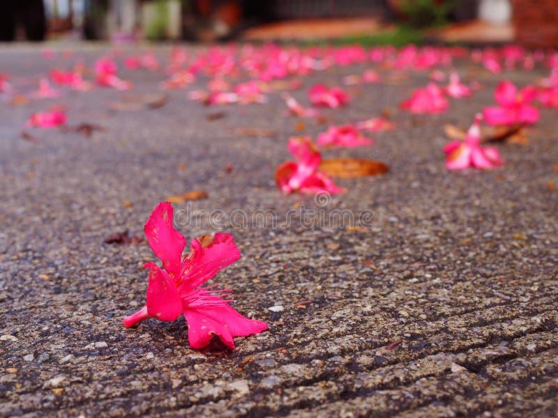 Fermez-vous vers le haut d'égaliser la route bétonnée sale sale, fleur rose tombée image stock