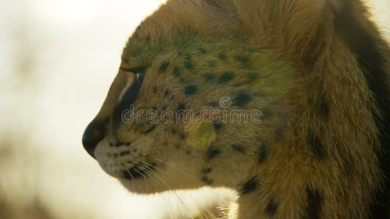 Fermez-vous vers le haut d'un chat de serval avec repéré comme un guépard et des jambes extra-longues, la savane, Afrique photos stock