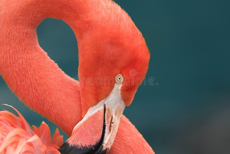 Fermez-vous vers le haut d'un flamant rose photo stock