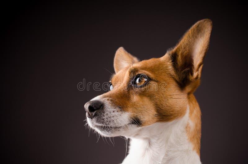 Fermez-vous vers le haut d'un Jack Russell Terrier photos stock