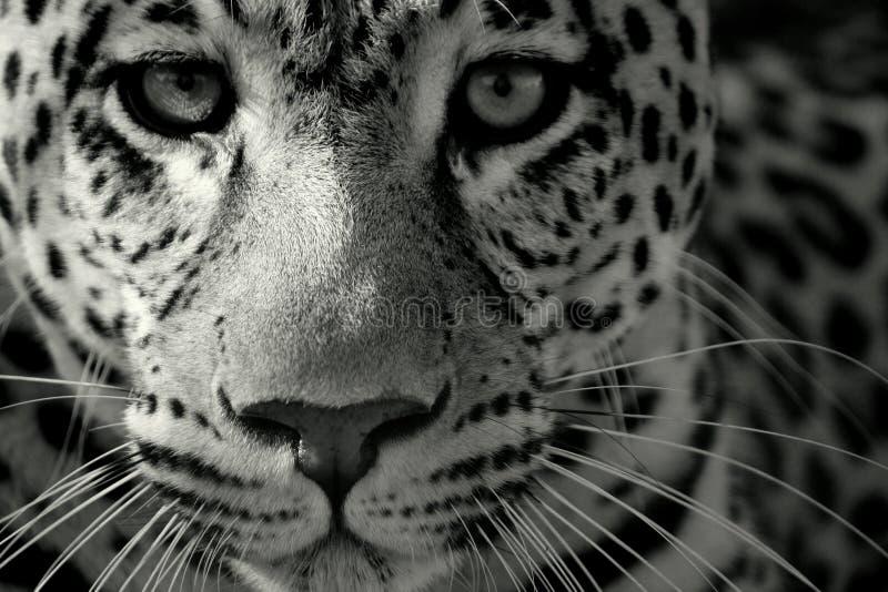 Fermez-vous vers le haut d'un léopard image libre de droits