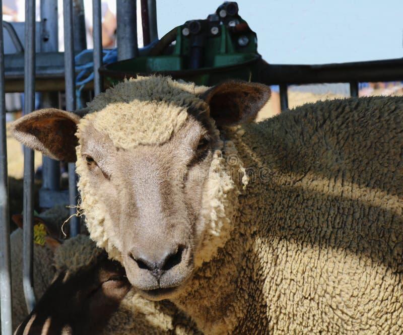 Fermez-vous vers le haut d'un mouton photographie stock libre de droits