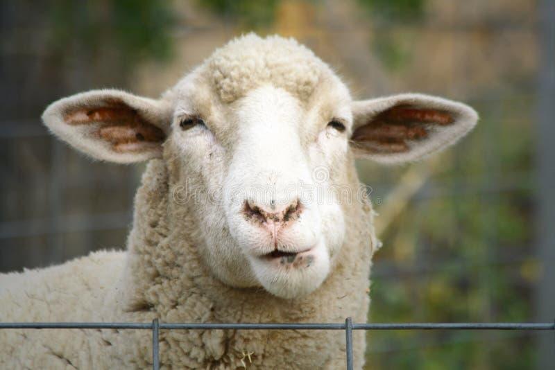 Fermez-vous vers le haut d'un mouton images libres de droits