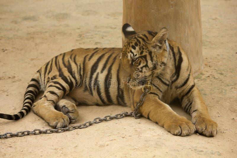 Fermez-vous vers le haut d'un tigre photo libre de droits