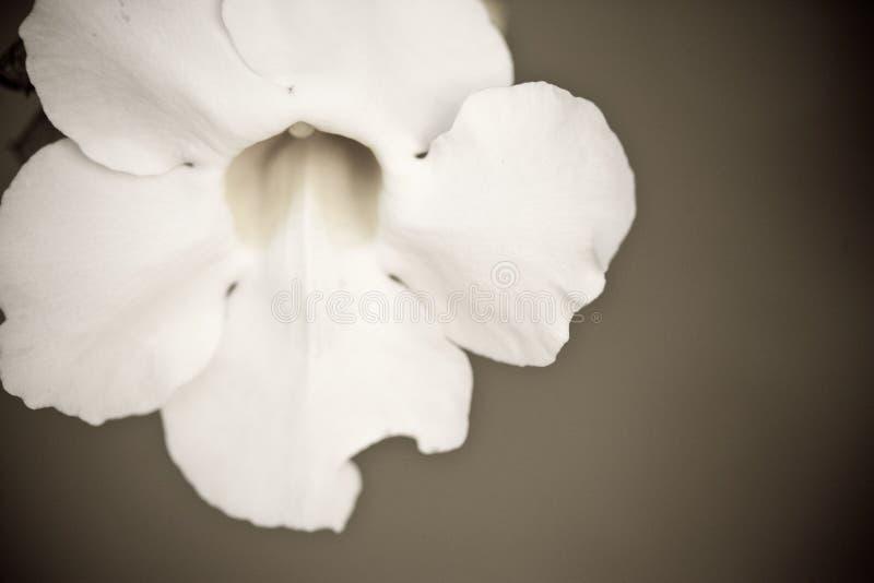 Fermez-vous vers le haut d'une fleur de floraison en noir et blanc photos stock