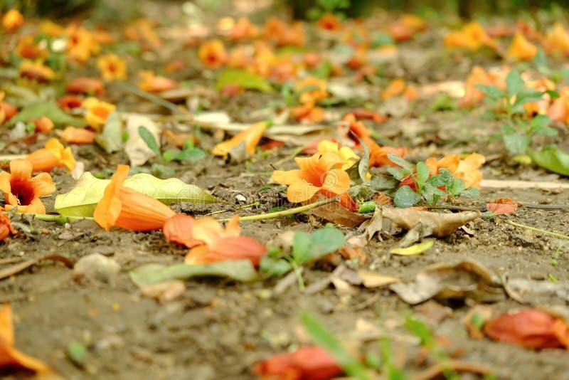 Fermez-vous vers le haut d'une pile de la fleur d'orange douce tombant de l'arbre dans un rez-de-chaussée photos stock