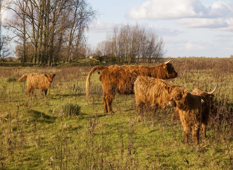 Fermez-vous vers le haut d'une vache écossaise à montagnard photo libre de droits
