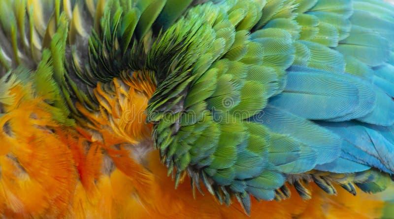 Fermez-vous vers le haut de coloré de Catalina Macaw Hybrid entre l'ara d'écarlate et les plumes bleues et jaunes du ` s d'oiseau photo stock