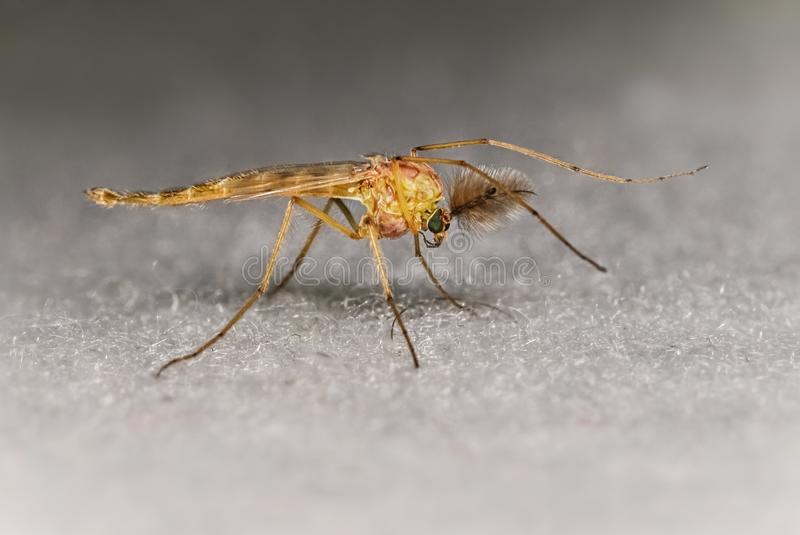 Fermez-vous vers le haut de grandes antennes de moustique photo stock